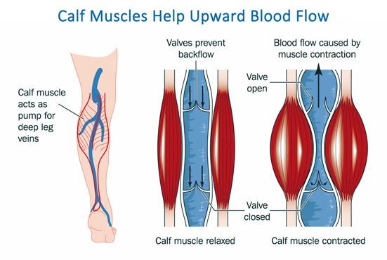 Blood Flow In Leg Veins